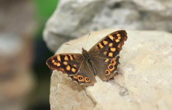 Photo: Pararge aegeria     Lepidoptera Nymphalidae