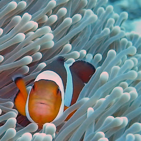 Nemo Amphiprion Occelaris by Daniel Sasse - Animals Fish ( marine, marinelife, plongee, ao nang, underwater, ecosystem, thailand, krabi, photography, scuba, buceo, tauchen, diving, nemo, biology, eco )