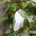 Grey Swallowtail Moth
