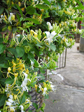 Photo: Madresilva Creme ( Lonicera japonica )