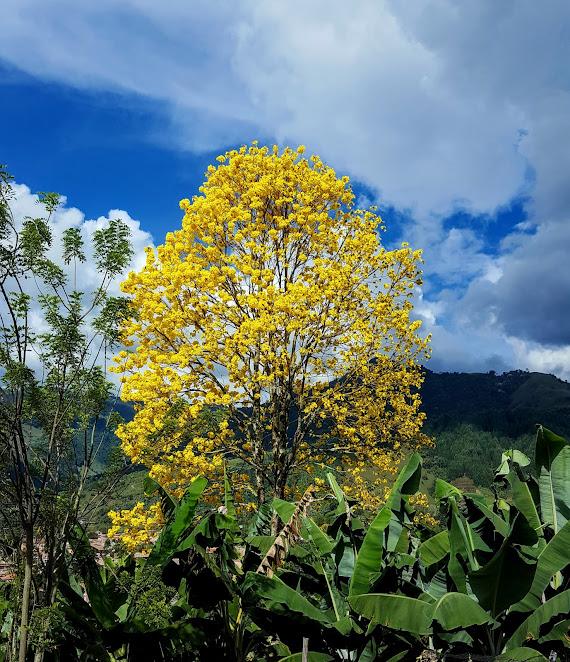 El papa de los Guayacanes Amarillos