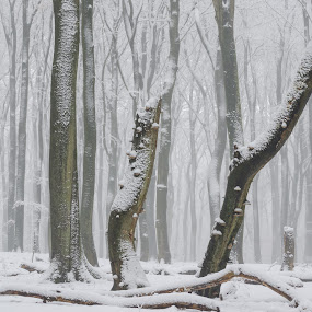 Snow in the forrest of dancing trees by Nico Sinselmeijer - Landscapes Forests ( forests, speuld, winter, snow, the netherlands, forest, sneew, mushrooms )