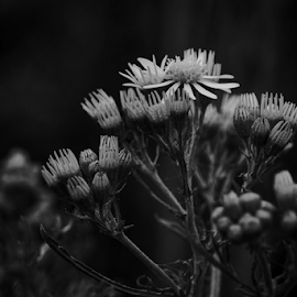 Weeds  by Todd Reynolds - Black & White Flowers & Plants