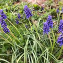 Grape Hyacinth (Bluebells)
