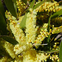 White Sally Wattle
