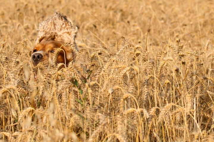 Nel grano di Andrea Izzotti
