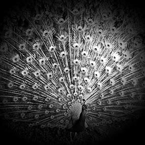 Peacock by Fereshteh Molavi - Black & White Animals ( bird, grass, feathers, light, shadows )
