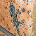 Broad tailed gecko (Juvenile)