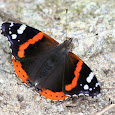 Red Admiral Migration