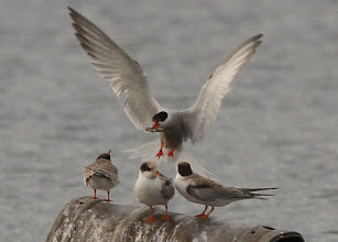 Photo: 4 Aug 13 Trench Lock Pool: A family of 4 Common Terns (Dave Tromans)