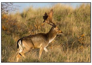 Photo: Nederland - natuur - hert Foto: Bert Morsink