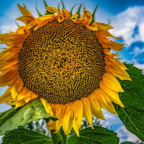 by Venelin Dimitrov - Flowers Single Flower ( sky, outdoors, nature, yellow, flora, sunflower,  )