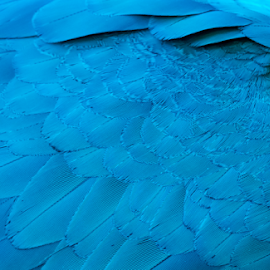 blue wing by Keith Sutherland - Abstract Patterns ( wing, blue, parrot, feathers )