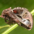Semyra moth