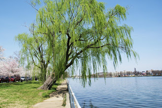 Photo: A willow leans out over the water