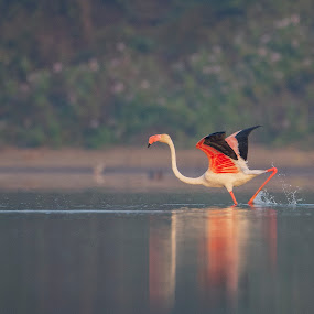 Flamin......GO! by Santanu Majumder - Animals Birds ( nature, bird, action, flamingo, wildlife )