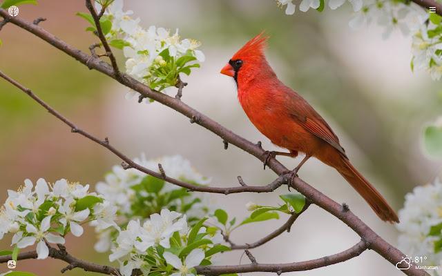 Cardinal Bird HD Wallpapers New Tab Theme