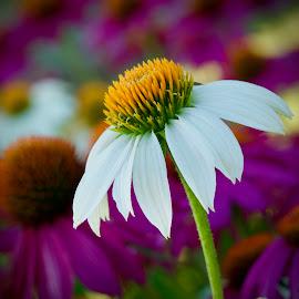 by Marie Schmidt - Flowers Flower Gardens (  )