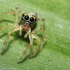 Pancorius Jumping Spider