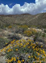 Photo: Brittlebush desert-scape; Anza Borrego Desert State Park