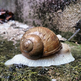 Snail 3 by Boban Buliga - Animals Other ( #nature #naturelovers #natureonly #natureza #tagsforhearts #nature_seekers #nature_shooters #nature_perfection )