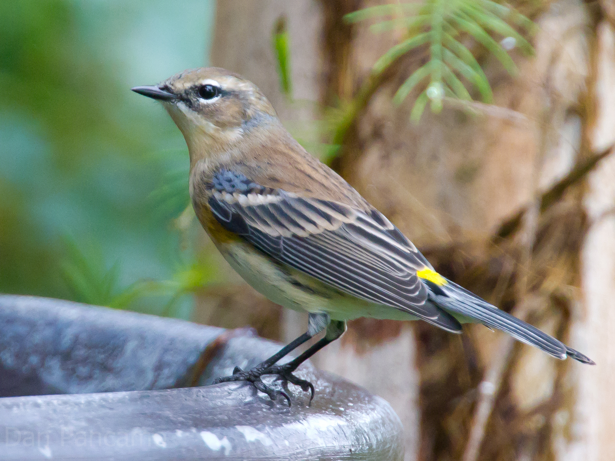 Photo: Yellow-rumpted Warbler