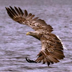 white tailed eagle by Roald Heirsaunet - Animals Birds