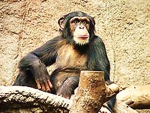 http://upload.wikimedia.org/wikipedia/commons/thumb/8/8b/Schimpanse_zoo-leipig.jpg/220px-Schimpanse_zoo-leipig.jpg
