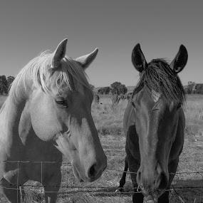 The horse conversation. by Mehdi Laraqui - Animals Horses ( animals, horses, nature, ranch., horse, black & white,  )