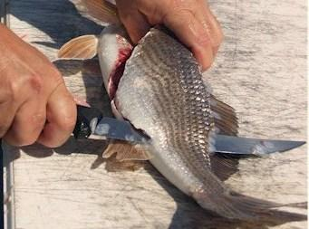 Using a very sharp fillet knife, or electric knife, start right behind the gills...