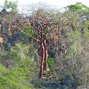 Gumbo-limbo/Tourist Tree