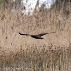 Marsh Harrier; Aguilucho Lagunero