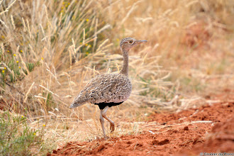 Photo: Spotted Thick-knee (Afrikaans: Gewone Dikkop), Mokala National Park.