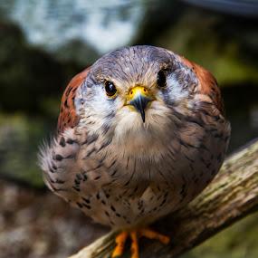 bird by Franky Vanlerberghe - Animals Birds ( bird,  )
