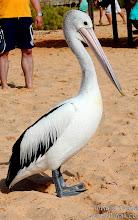 Photo: Pelican in Monkey Mia, Western Australia