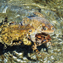 Northern American Toad