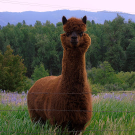 Alpaca by Cynthia Dodd - Novices Only Pets ( pets, alpaca, trees, wildlife )