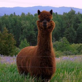 Alpaca by Cynthia Dodd - Novices Only Pets ( pets, alpaca, trees, wildlife )