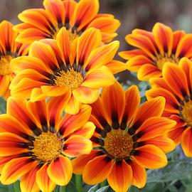 by Carmen Quesada - Flowers Flower Gardens ( orange, flowers, multicolored, natural, plant, yellow, gazania, garden, many )