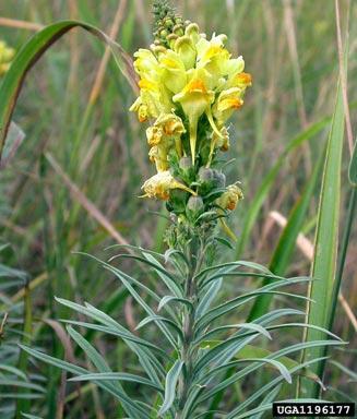 http://www.uwyo.edu/capsweb/_files/images/weeds/weed-pics/linaria-vulgaris.jpg