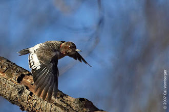 Photo: Recently fledged Red-headed Woodpecker