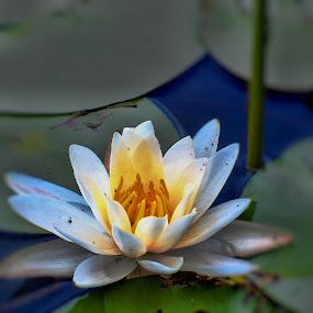 Lilly by Richard Moyen - Nature Up Close Flowers - 2011-2013 ( water, hdr, pedals, leaves, flower )