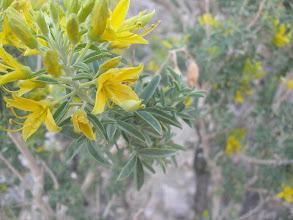 Photo: Isomeris arborea