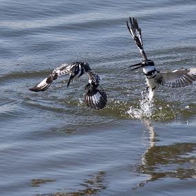 The fight by Dawie Nolte - Animals Birds ( water, bird fight, pied, dam, kingfisher, splashes, pied kingfishers, fighting,  )
