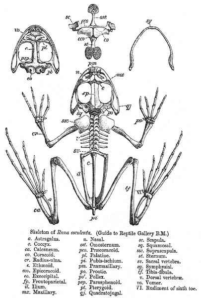 Poison dart frog anatomy