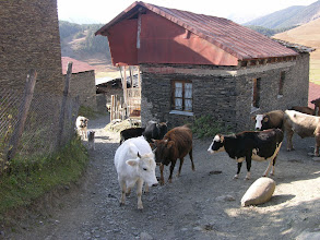 Photo: Pretty cows were in greater number than people in Shenako - the villagers had mostly moved to the low lands for winter.
