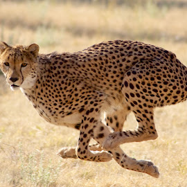 running by Eli Walker - Novices Only Wildlife ( big cat, cheetah, cat, animals, nature, wildlife, africa, felid )