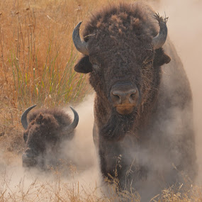 Bison Dust by Lyn Daniels - Animals Other Mammals (  )