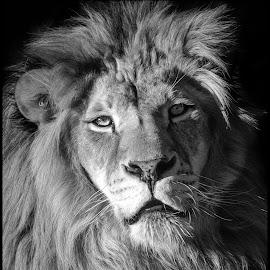 African Lion by Dave Lipchen - Black & White Animals ( african lion )