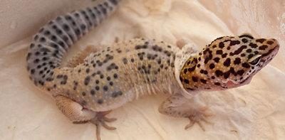 Image result for shedding in leopard geckos